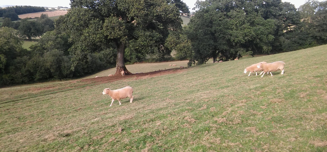 Sheep in the glamping field