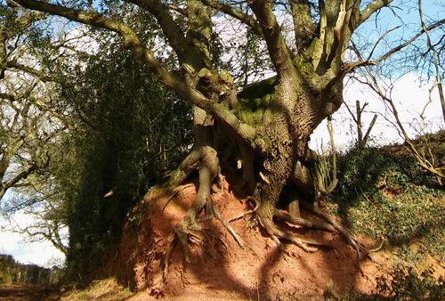A gnarled old Oak in the Devon bank