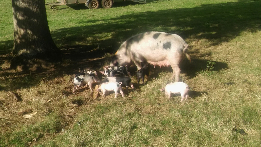 Free range sow and piglets