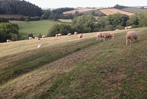 Sheep grazing nearby