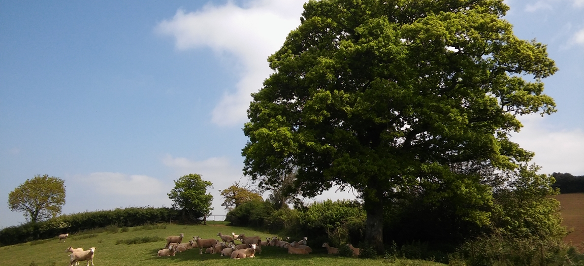 Sheep finding shade under a large Oak tree